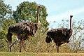 Ostrich (Struthio camelus) (5530144487).jpg