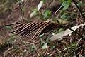 Ostrich fern (Matteuccia struthiopteris) (17113821660).jpg
