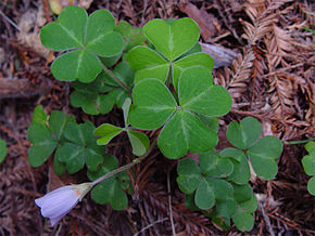 Description de l'image Oxalis oregana 000.jpg.