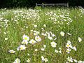 Oxeye Daisy (Leucanthemum vulgare) - geograph.org.uk - 844658.jpg
