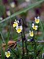 Põldkannike, Viola arvensis.jpg