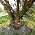 P1240518 Paris V jardin des plantes cerisier du Japon rwk.jpg