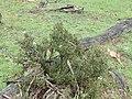 P3048237 Melicytus angustifolius subsp divaricatus 02.jpg