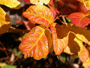 Western Poison Oak showing its fall colors