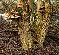 Paddenstoelen (Pleurotus ostreatusop) een vlier (Sambucus nigra). Locatie, Natuurterrein De Famberhorst 01.jpg
