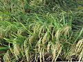 Padi, Desa Sawarna, 010202014.jpg