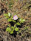 Paeonia mascula subsp. russoi 1