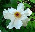 Paeonia suffruticosa 19.jpg