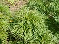 Paeonia tenuifolia 2017-04-20 8142.jpg