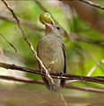 Pale-billed Flowerpecker (Dicaeum erythrorhynchos) with a Muntingia calabura (Singapur cherry) fruit W IMG 8470.jpg