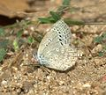 Pale Grass Blue Pseudozizeeria maha UN at Kanha Tiger Reserve, Madhya Pradesh IMG 9345 (7).jpg