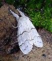 Pale Tussock female. Calliteara pudibunda (32575195582).jpg