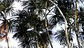 Palm Canopy - Flickr - gailhampshire.jpg