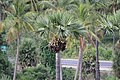Palmyra palm 01.jpg