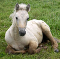 Palomino Foal turning Grey.jpg