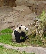 Il bambù è la principale fonte di cibo per il panda gigante: ammonta a circa il 99% della sua dieta alimentare.