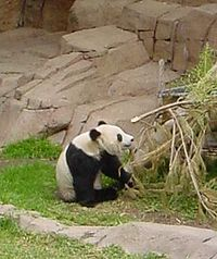 Panda eating Bamboo.jpg