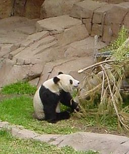 Bamboo is the main food of the giant panda, making up 99% of its diet. Panda eating Bamboo.jpg