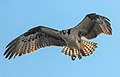 Pandion haliaetus -South Amboy, New Jersey, USA -flying-8.jpg