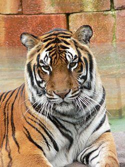 Panthera tigris6.jpg