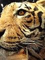 Panthera tigris tigris - Royal Ontario Museum - DSC00169.JPG