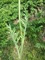 Papaver dubium subsp. austromoravicum sl10.jpg