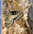 Papilio hospiton side.jpg