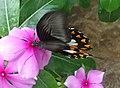 Papilio polytes - Mindanao, Philippines 3.jpg