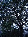Paris 75018 Place Jean-Baptiste-Clément Trees 2.jpg