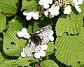 Parnassius glacialis on Viburnum plicatum var. tomentosum.jpg