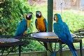 Parrot Macaw Gossip.jpg
