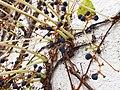 Parthenocissus tricuspidata IMG 5037.jpg