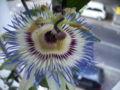 Passiflora caerulea2006.jpg
