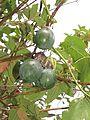Passiflora ligularis, the sweet granadilla or grenadia at Mannavan Shola, Anamudi Shola National Park, Kerala (2).jpg