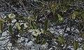 Passiflora pectinata & exposed roots. Little San Salvadore (38154389504).jpg
