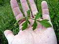 Pastinaca sativa subsp. urens leaf (02).jpg