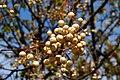 Paternoster- Rosenkranzbaum, Früchte in Friaul-Julisch Venetien, Italien.jpg