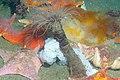 Patiria miniata, Feasting (6003887777).jpg