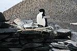 Paulet Island (24519137142).jpg