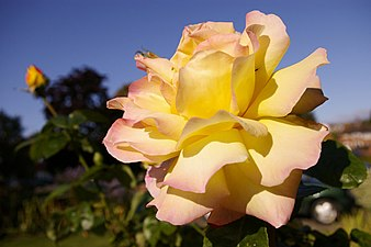 Peace - hybrid tea rose - geograph.org.uk - 995333.jpg