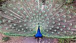 Peacock male displaying.jpg