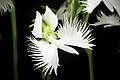 Pecteilis radiata fma. variegata '金星 - Kinboshi' (Thunb.) Raf., Fl. Tellur. 2 38 (1837) (50295988886).jpg