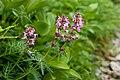 Pedicularis chamissonis var. japonica 14.jpg