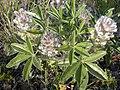 Pediomelum esculentum (Psoralea esculenta) (4016141618).jpg