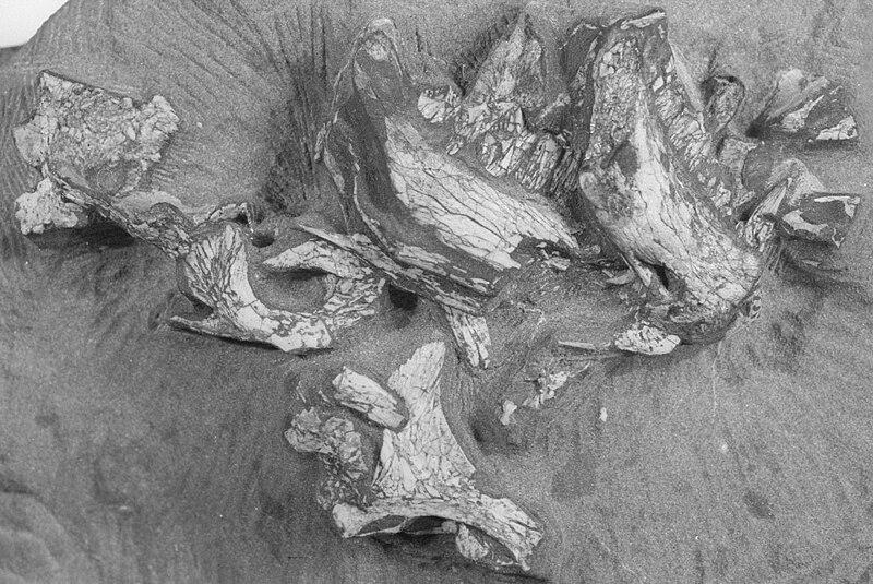 File:Pegomastax africana holotype cropped.jpg