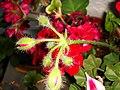 Pelargonium endlicherianum=Sardunya - panoramio.jpg