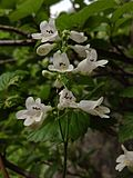 Penstemon digitalis - Foxglove Beardtongue.jpg