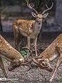 Persian Fallow Deers in Dasht-e Naz Wildlife Refuge 2020-06-02 04.jpg
