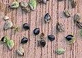 Persicaria maculosa seeds, Perzikkruid zaden.jpg