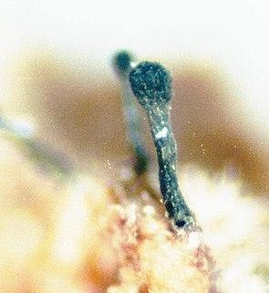 Phaeocalicium polyporaeum